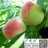中万寿桃苗基地批发 新品种桃树苗具有个头大 品质好 色泽美 极晚熟 极丰产等特性 特优桃树苗